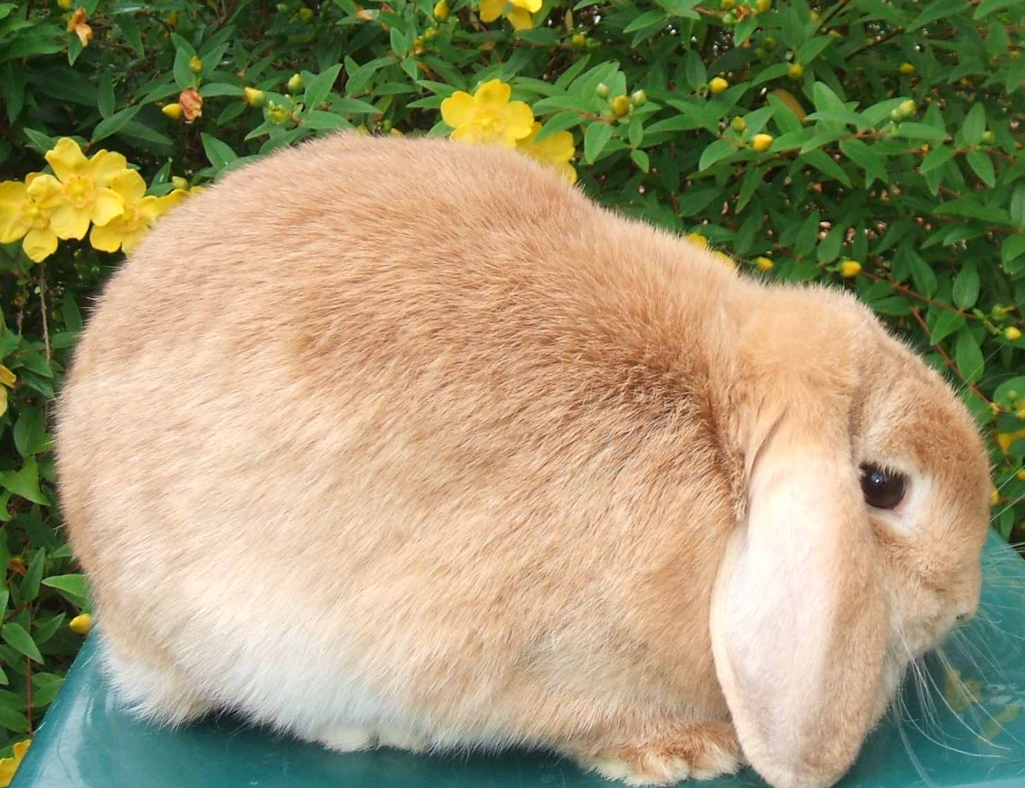 Dwarf lop rabbits - photo#24
