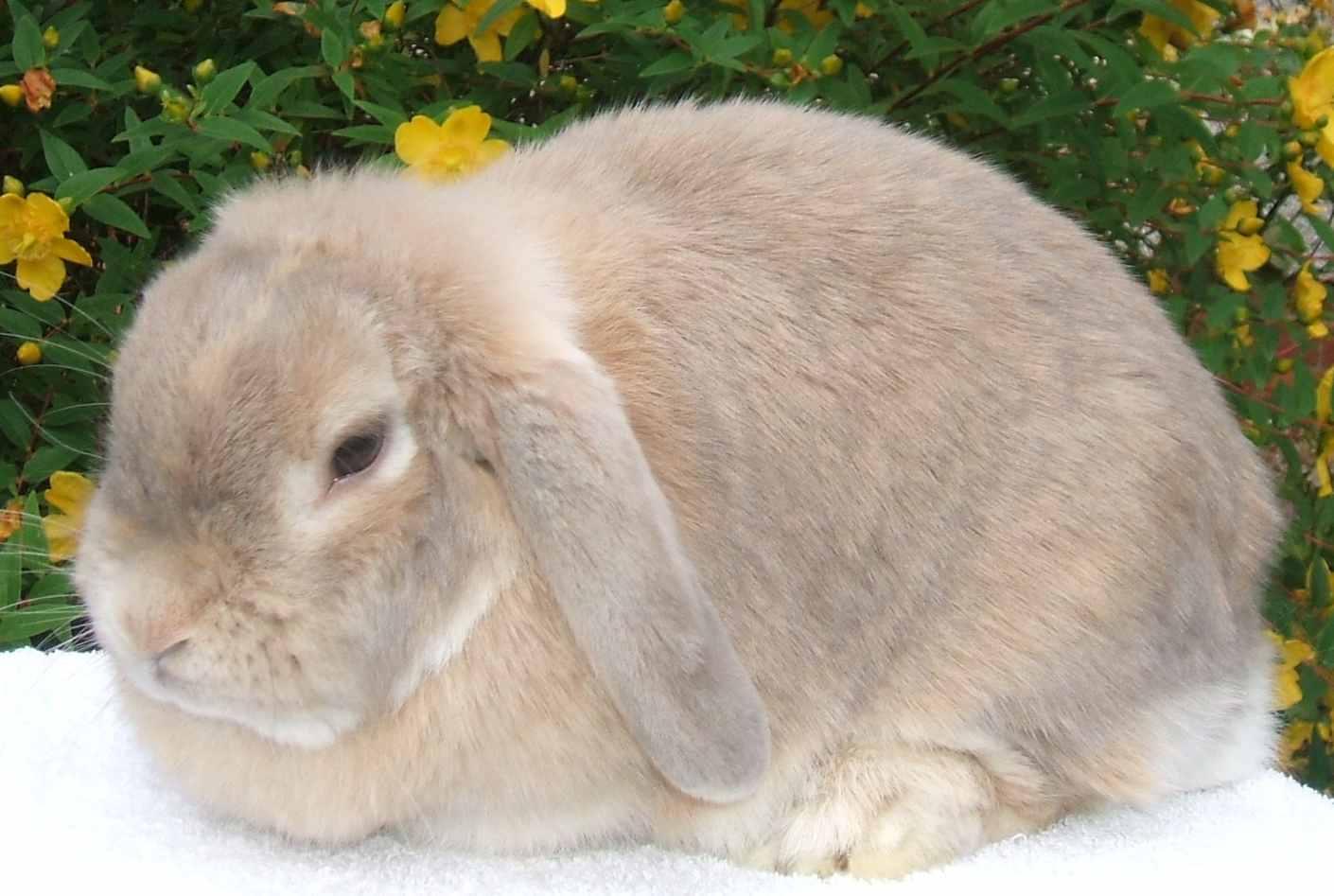 Baby dwarf lop rabbit