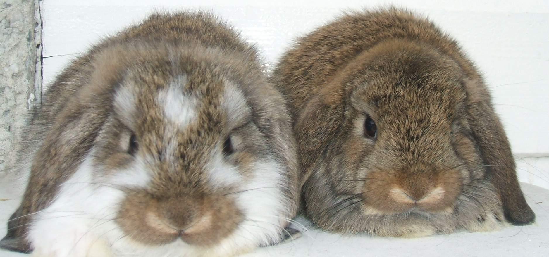Dwarf lop rabbits - photo#54