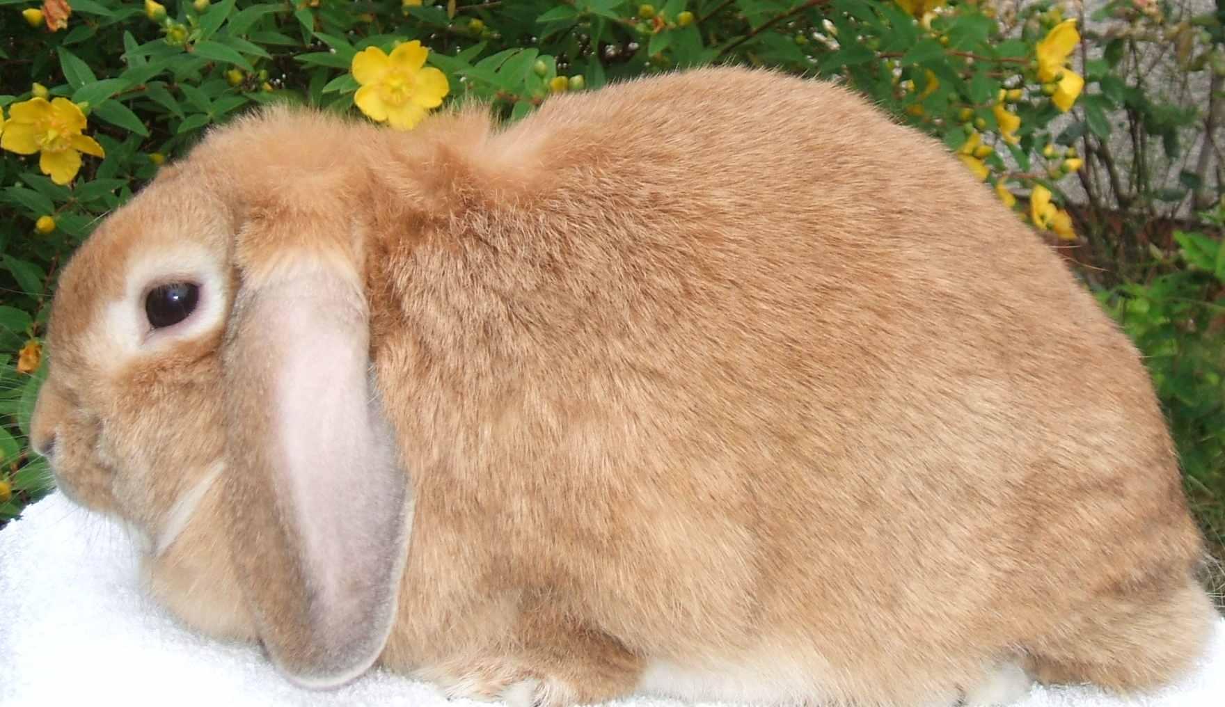 Dwarf lop rabbits - photo#22