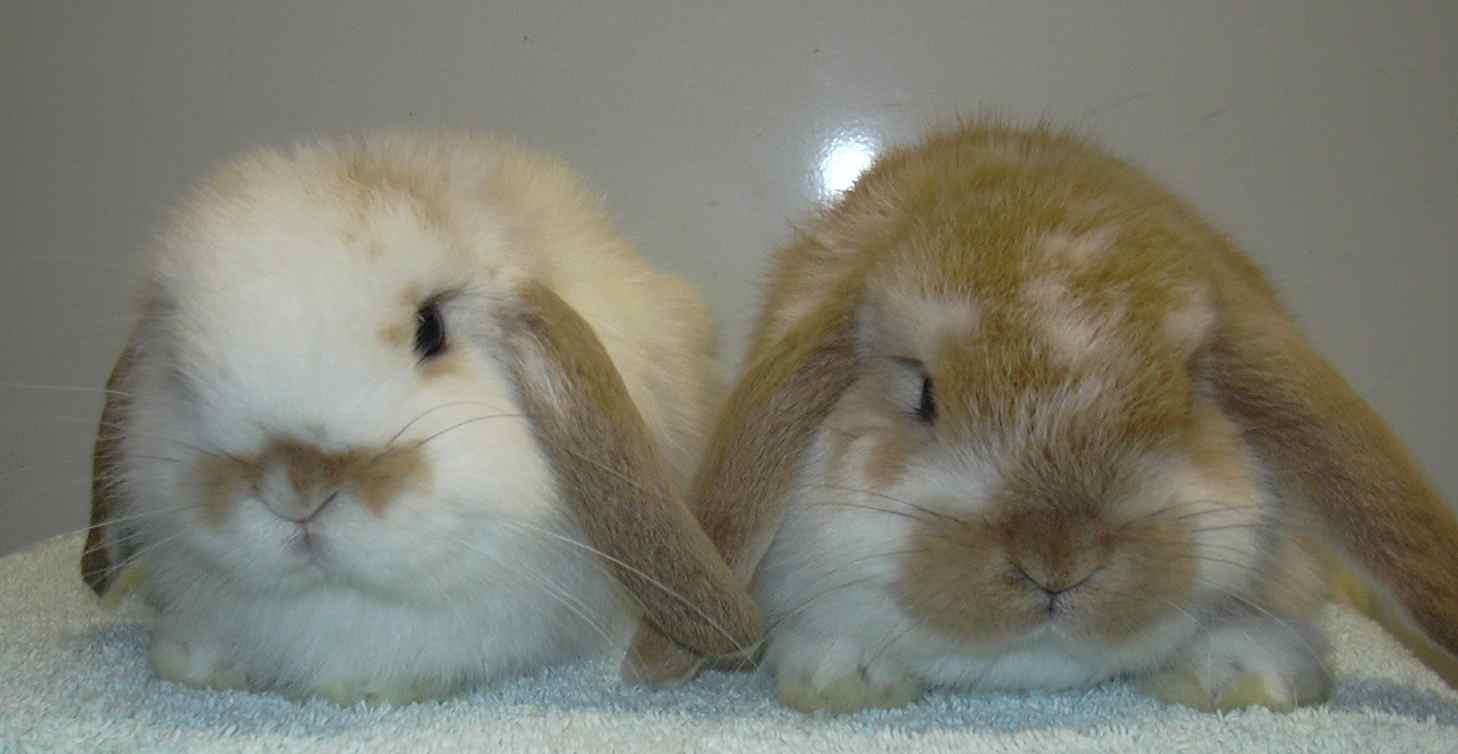 Dwarf lop rabbits - photo#18
