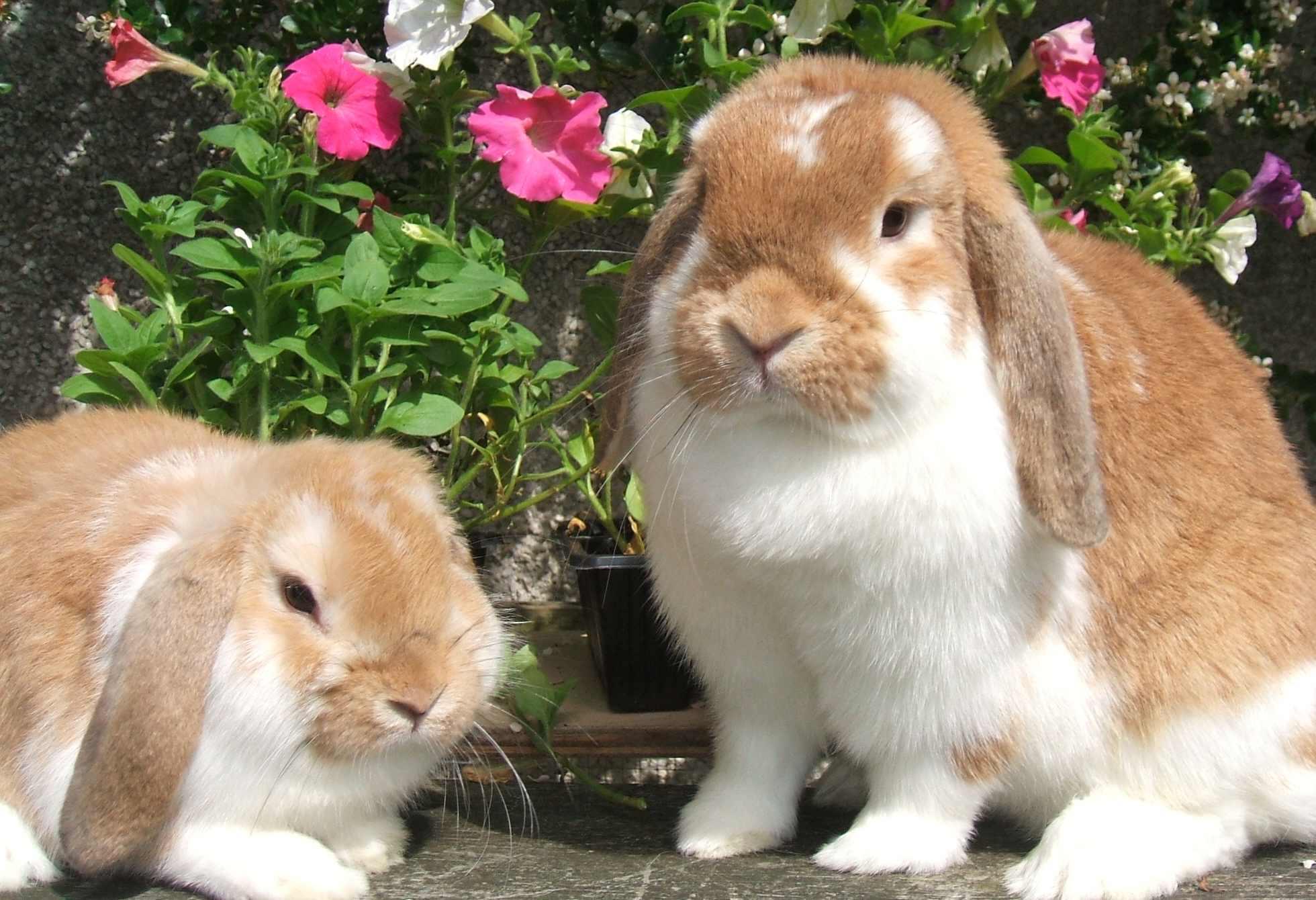 Dwarf lop rabbits - photo#14