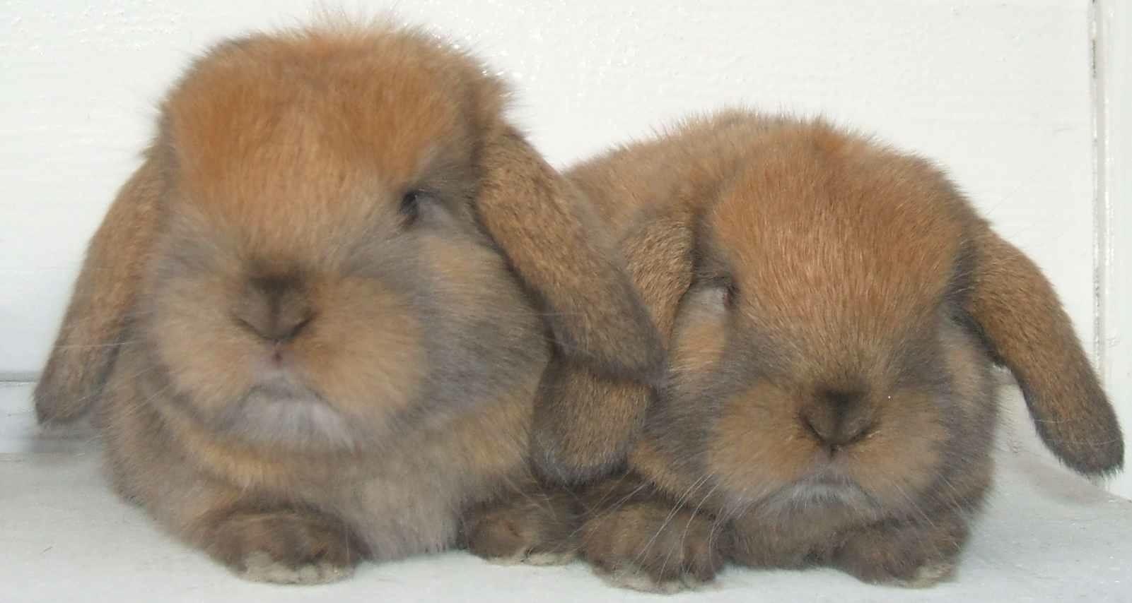 Dwarf lop rabbits - photo#26
