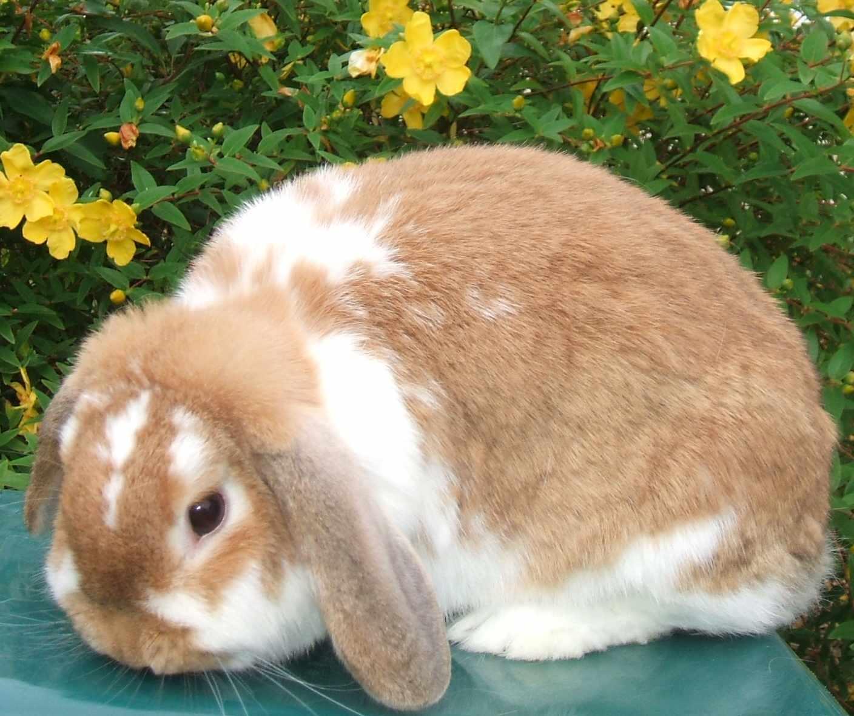 Dwarf lop rabbits - photo#21